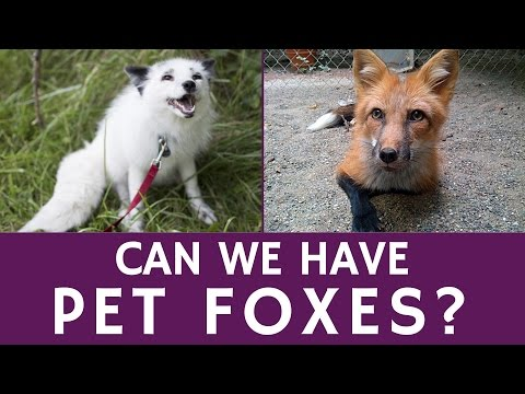 Do Pet Foxes Exist and What is the Price of an Exotic Domesticated Fox?