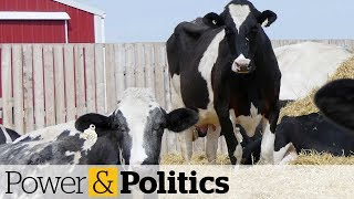 Download Feds unveil $1.75B in compensation for dairy farmers   Power & Politics Video