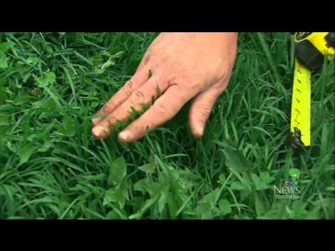 5 easy steps to lush green lawn as seen on CTV News