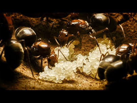 Xxx Mp4 Ant Queens Forge An Empire Empire Of The Desert Ants BBC Earth 3gp Sex