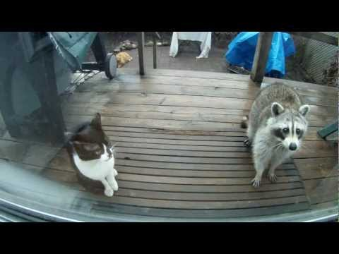 Friendly Raccoon and stray cat