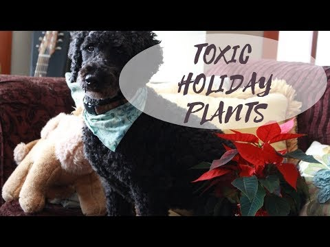 Poinsettia Safe For Dogs and Cats?