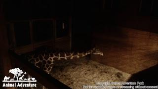 April the Giraffe Cam - Animal Adventure Park