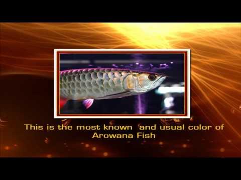 Arowana Secrets Revealed! - The Leading Guide To All Things Arowana.