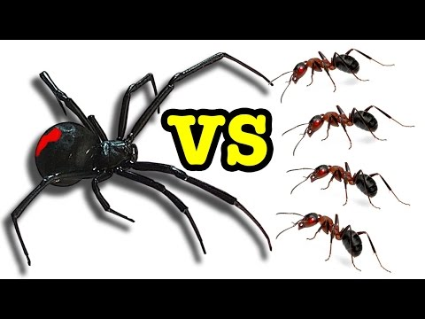 Killer Spider Vs Killer Ants The Ultimate Educational Bug Battle