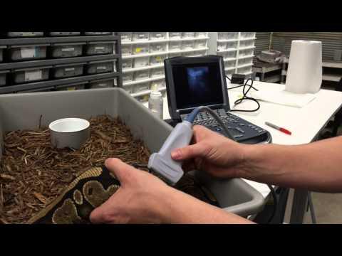 JKR Pro-Tips - Ultrasounding Ball Pythons for Breeding (Episode 1 of 3)