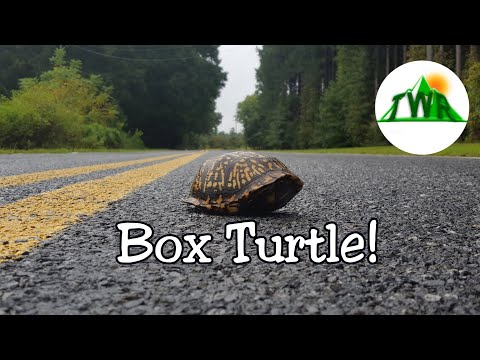 Box Turtles: Everything You Need To Know!
