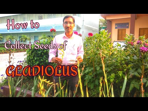 How to Collect Seeds of Gladiolus