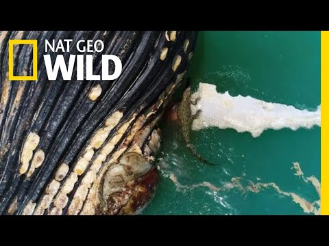 Crocodile and Sharks Eat a Whale in First-Ever Video | Nat Geo Wild