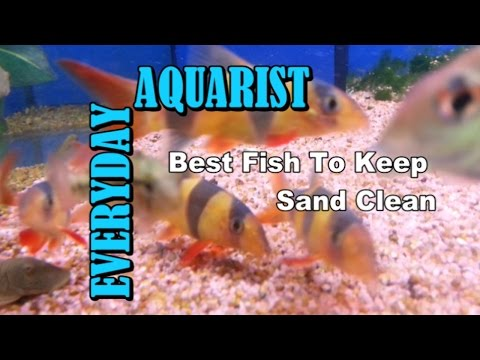 Best Fish To Keep Aquarium Sand & Gravel Clean