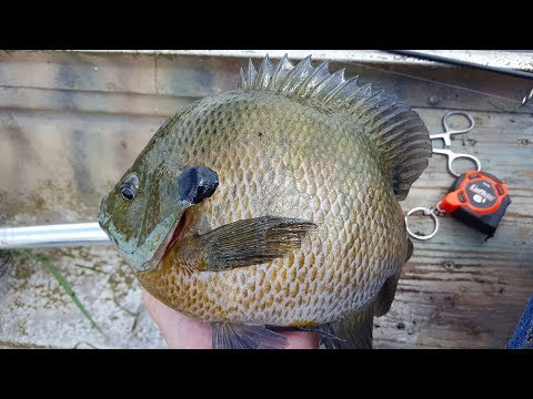 Springtime equals MONSTER BLUEGILLS!!!!