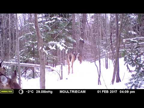 Deer funneling through hinge cut trail