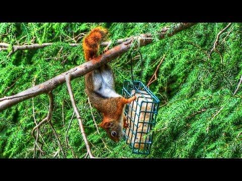 Red Squirrel Raids Suet Bird Feeder
