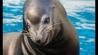 The Sea Lion can Smile! Seal Show at Taronga Zoo, Sydney (4K)