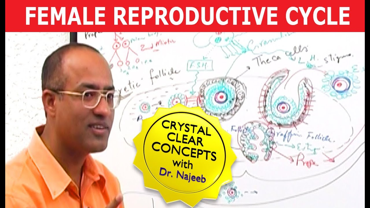 Female Reproductive Cycle - Menstrual Cycle - Hormones Release & Regulation