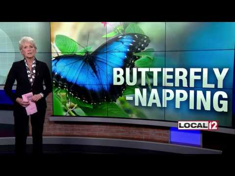 Search for woman accused of stealing rare butterfly from the Krohn Conservatory