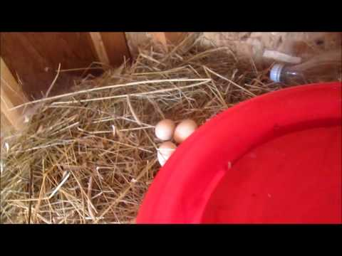 My chickens lay eggs!