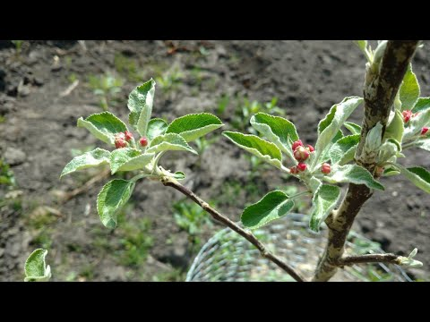 Garden and apple tree update