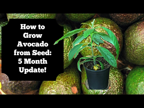 How to Grow Avocado from Seed: 5 Month Update!