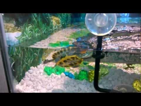 baby red ear slider turtle habitat