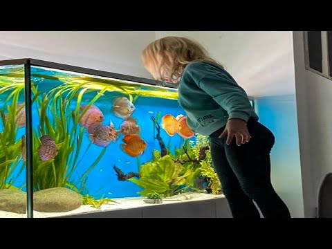 WITH THESE 3 STEPS, LEARN HOW TO BREED DISCUS AQUARIUM FISH WITH EASE