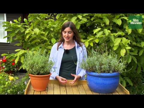 How to prune Lavender plants with Van Meuwen
