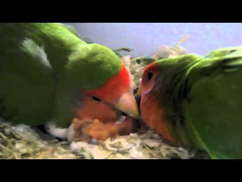 Love Birds: wonderful pets!