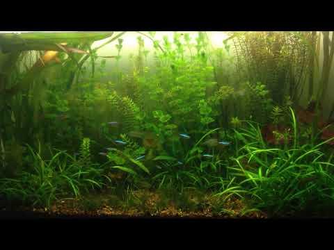 Hydrogen peroxide to get rid of hair algae in planted aquariums