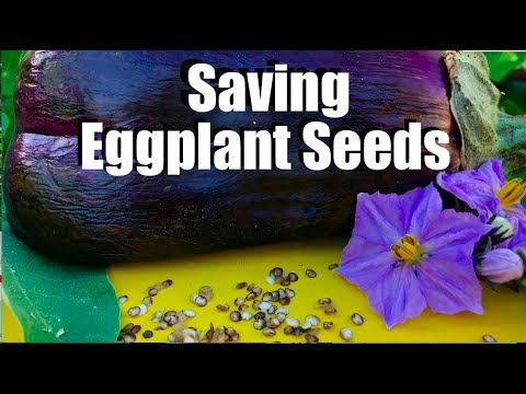 How to Save Eggplant Seeds // Massive Eggplant