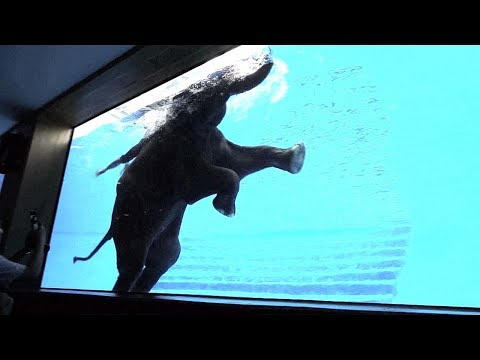 Thai zoo offers front-row view of swimming elephants