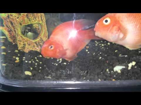 Female Parrot Fish laying eggs while Male fertilizers them