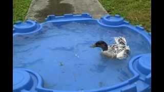 Silver Appleyard Ducks, 5 Weeks Old Videos & Books