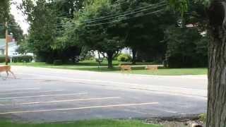 Deer and 2 babies crossing the street
