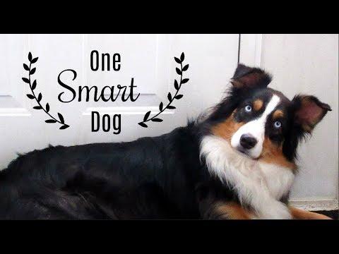 Testing my Australian Shepherd's Intelligence - Dog IQ Test