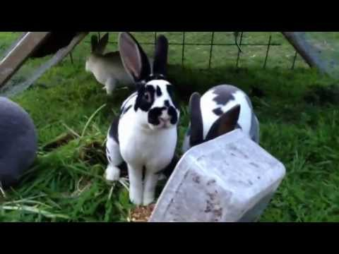 Rabbits raised on grass in moveable run.