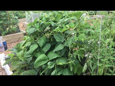 Week 12: Waiting to Harvest - Container Gardening Season 8