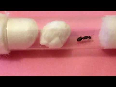 Infertile egg laying queen ant (tetramorium sp E)