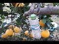 Cách người dân Phú Diễn phòng chống ruồi vàng cho cây bưởi diễn và kéo Original Lowe 10.107