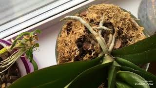 Мои Орхидеи в апреле.