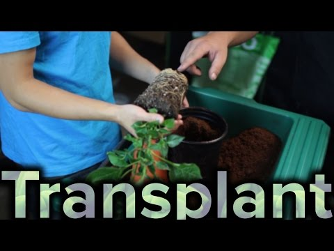 How to Transplant Plant to a Larger Pot