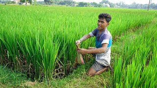 Grammo Poddhotite Kankra Dhora | Find Crab from Rice Field by village Boys