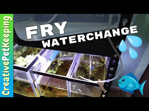 How I do a water change in the FRY TANK | One Month old BABY BETTA FISH