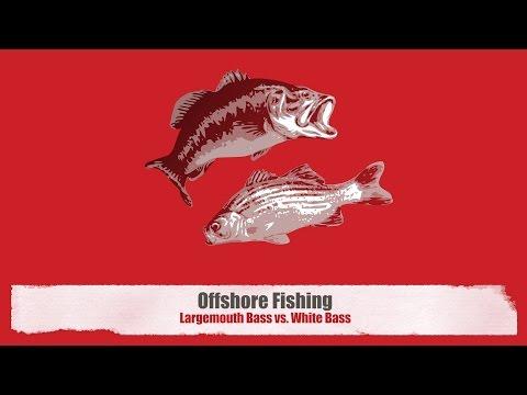 Fishing Offshore: Largemouth Bass vs White Bass