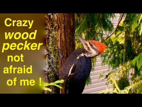 You Won't Believe How Close I got To This Crazy Woodpecker ! !