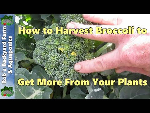 How to Harvest broccoli to get more from your plants...