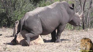 Rhino Mating. With A Rock?