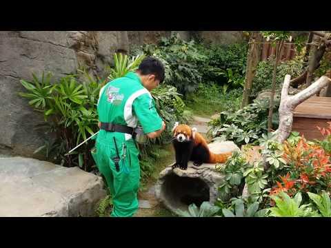 Training a red panda to pick up tricks