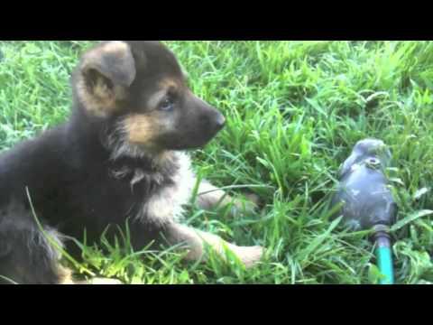 Funny German Shepherd Puppy. Dunder trying to herd a sprinkler!