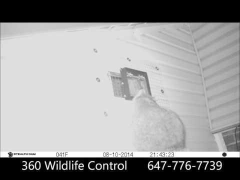 Best Raccoon Removal Method by 360 Wildlife Control