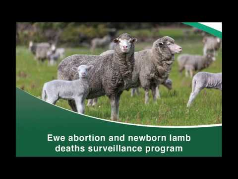Targeted surveillance lamb deaths | Department of Primary Industries and Regional Development